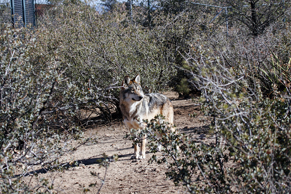 Mexican Gray Wolf Captive Breeding Facilities – The Wolf
