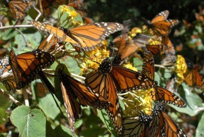 Monarch butterflies: numbers are up.