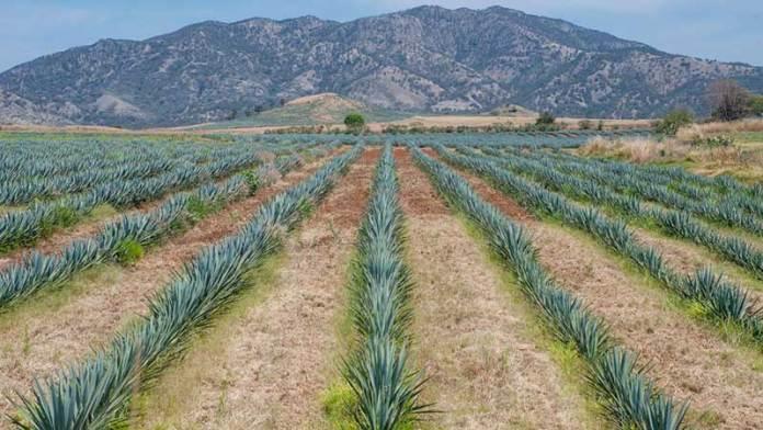 Pese a Covid-19, industria del tequila se fortalece