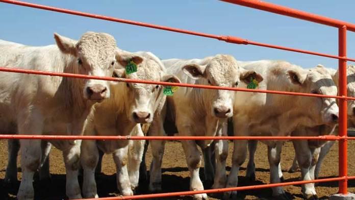 Chihuahua mantiene a buen ritmo exportación de ganado a EU