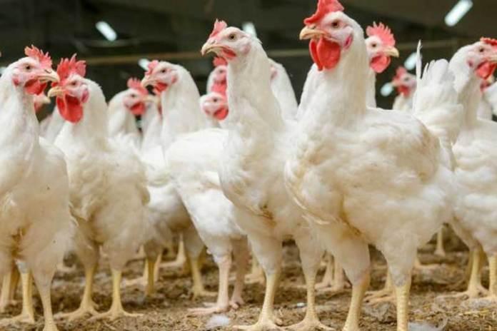 Plantean exportar pollo y huevo para EU
