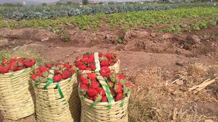Exportación de fresas sigue sin afectaciones