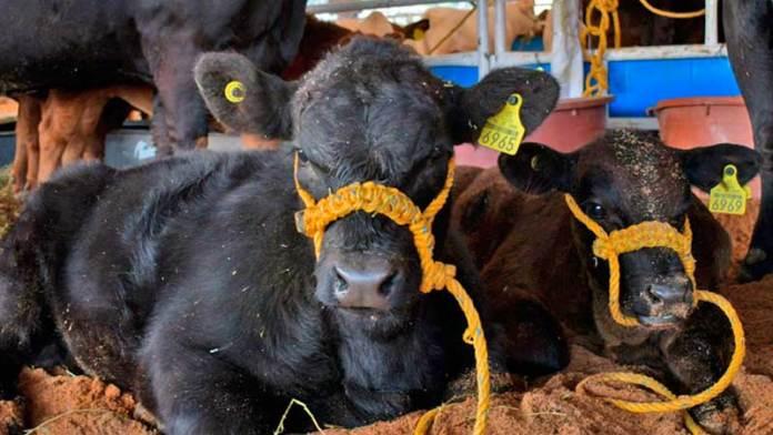 Exporta Zacatecas más de 19 mil cabezas de ganado