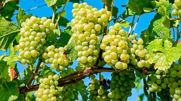 Corea del Sur se deleita con uva cosechada en Sonora