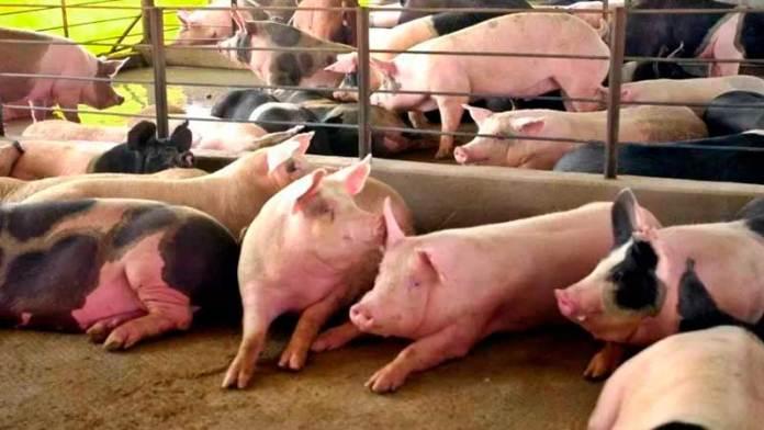 Se recuperan los porcicultores en cierre de año