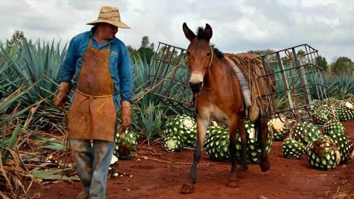 El éxito del Tequila y otros productos, blanco de casos de aprovechamiento