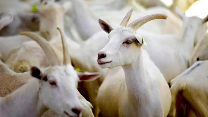 México requiere aprovechar su potencial en ganado caprino