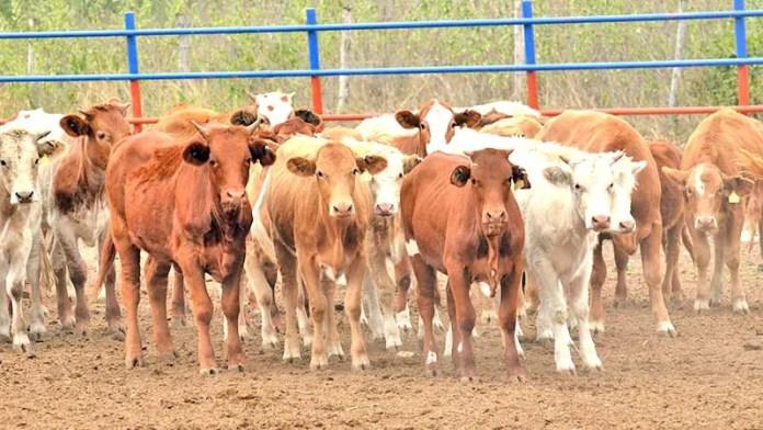 Abril, mes en el que se podrían reactivar las exportaciones de ganado en pie a Estados Unidos