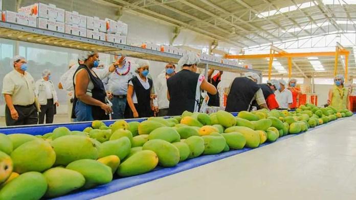 Exportaciones de mango hacia los Estados Unidos registran avance de un 50%