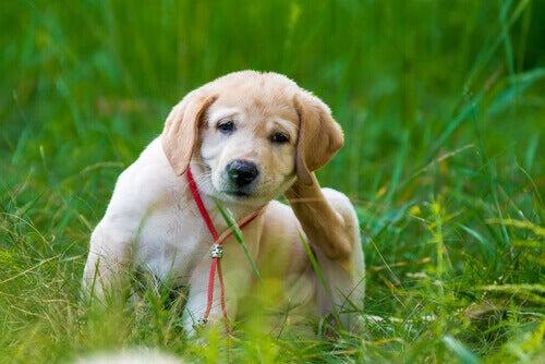 Διώξετε τους ψύλλους - Σκύλος ξύνεται
