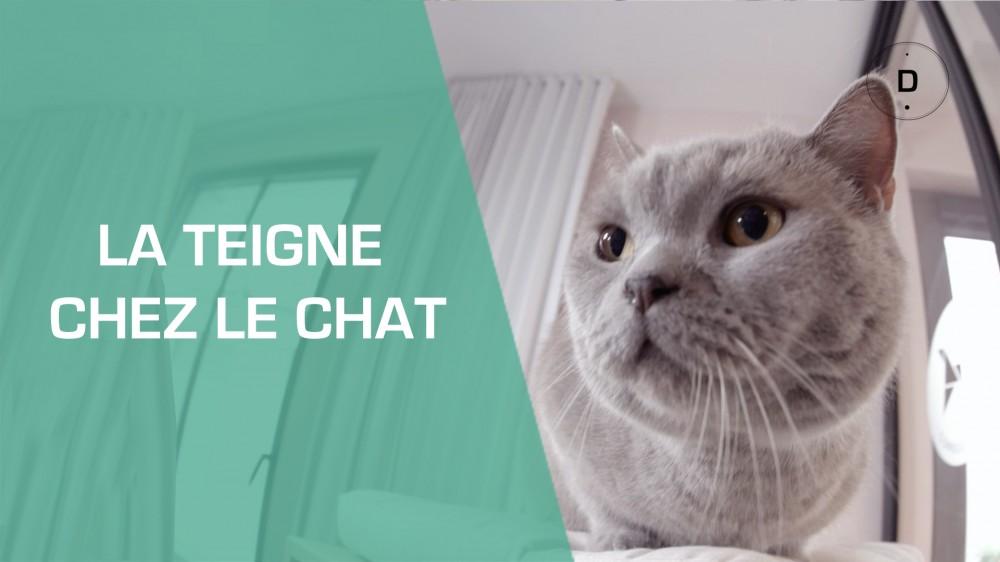 Teigne Chat Traitement De La Teigne Chez Le Chat Une
