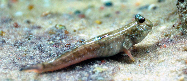 Mudskipper. Photo: Wikimedia Commons.