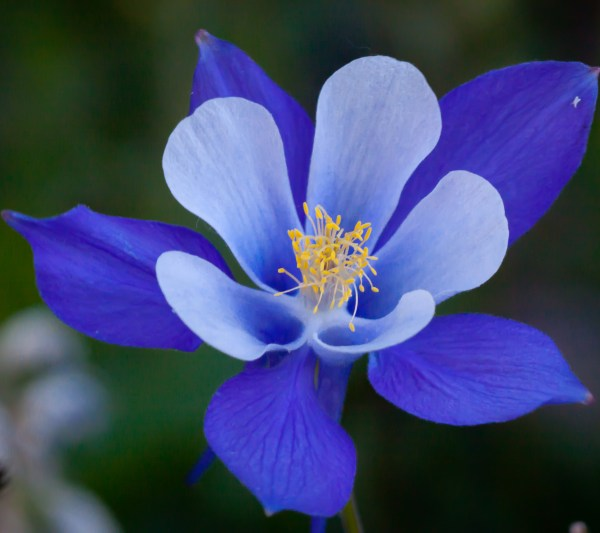 columbine flowers facts and growing tips the spruce - HD2880×2560