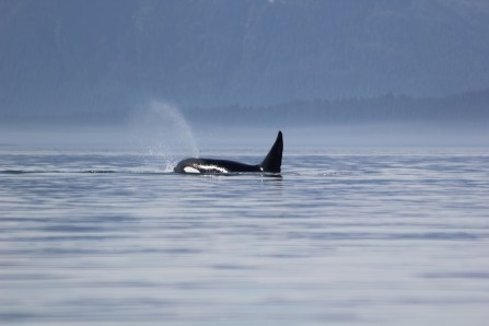A killer whale encounter