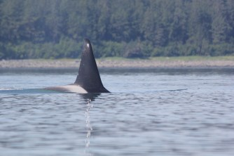 Transient male killer whale