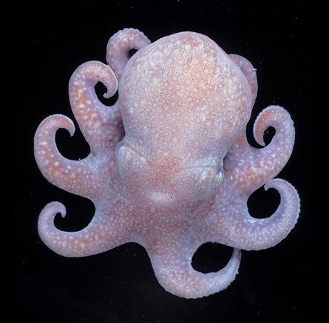 Verdens minste blekksprut