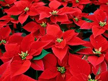 poinsettia_new