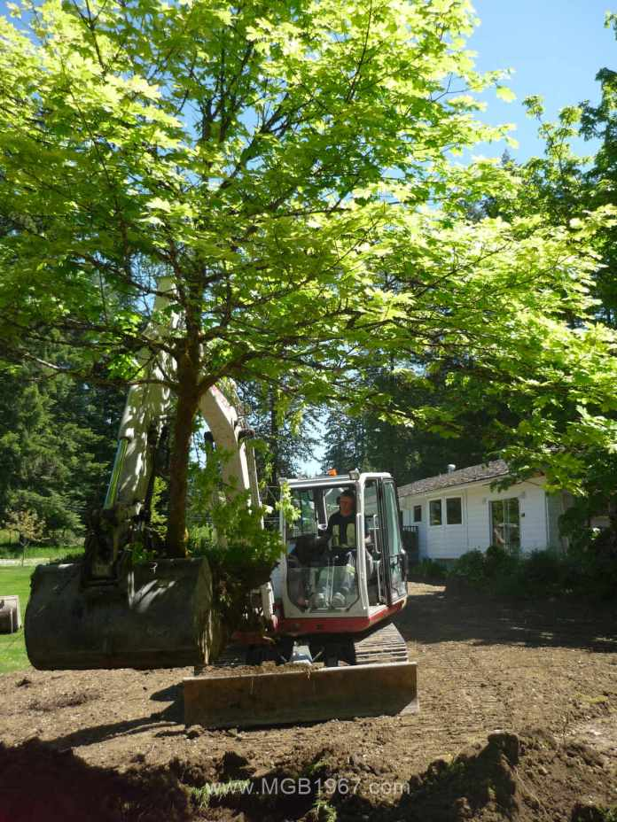 Moving the Maple tree to a new location