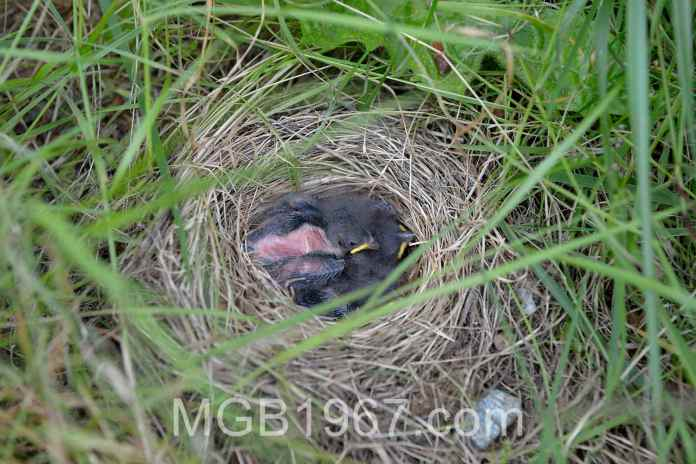 Week old Junco chicks