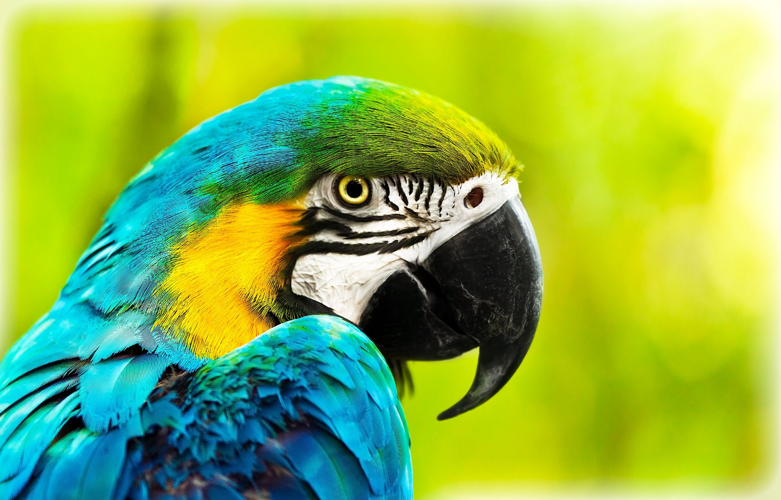 12981140 - exotic colorful african macaw parrot, beautiful close up on bird face over natural green background, bird watching safari, south africa wildlife