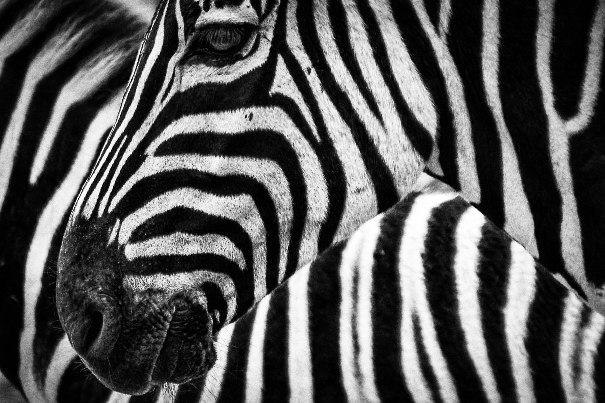 animal-animal-photography-black-and-white-47349