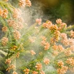 pollen-cedars