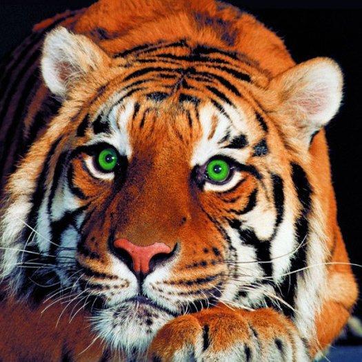 Son Profil La Tigresse Du Bengale