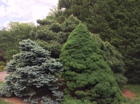 Varied textures of conifers