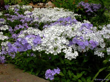 Phlox divaricata (woodland phlox) in the demonstration Shade Garden mid-spring. Photo © Mary Free