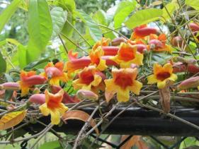 Bignonia capreolata (Crossvine)