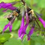 Salvias with long, narrow corollas are prime targets of nectar robbers like these eastern carpenter bees. Both the female (left) and male (right) are obtaining nectar through holes like that just visible at the base of the middle flower sepal. Photo © Mary Free