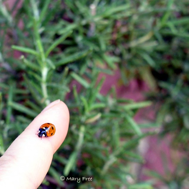 Seven-spotted lady beetle. Copyright Mary Free.