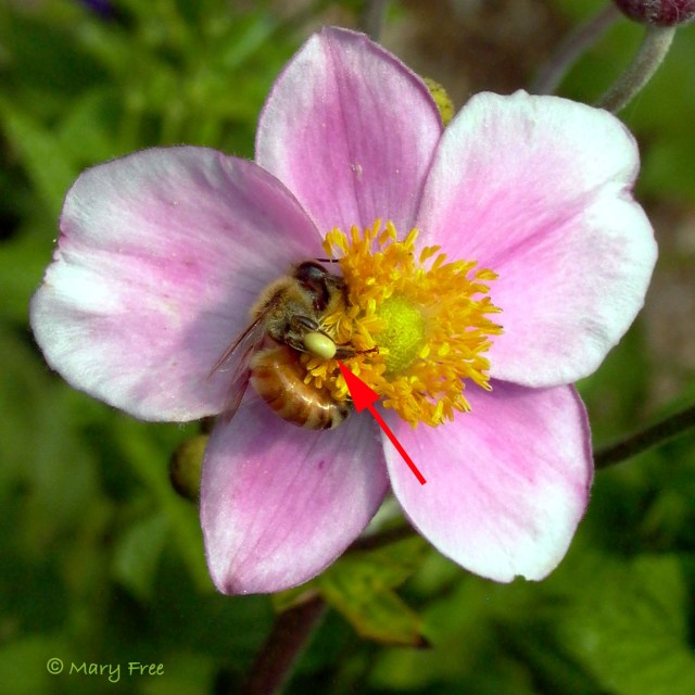 Caption: Apis mellifera (European honey bee) on Anemone hupehensis 'September Charm'. Copyright Mary Free.