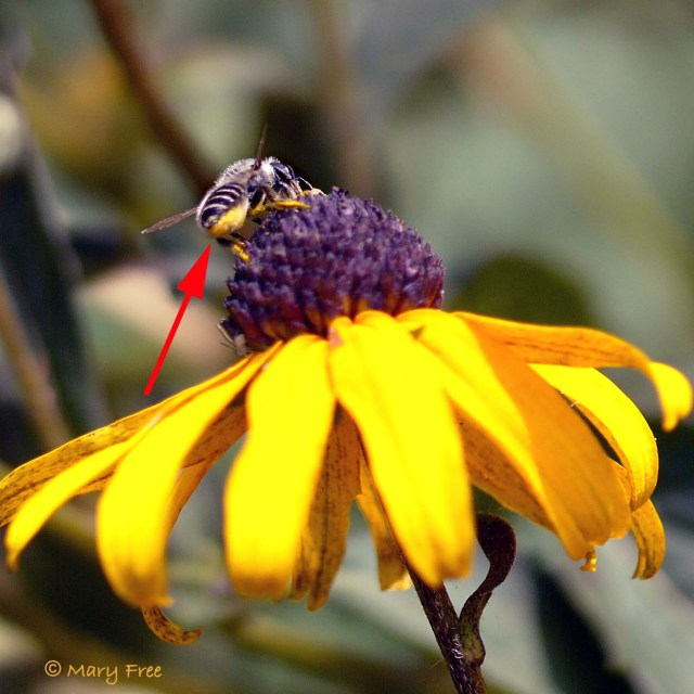 Leafcutter bee on Rudbeckia. Copyright Mary Free.