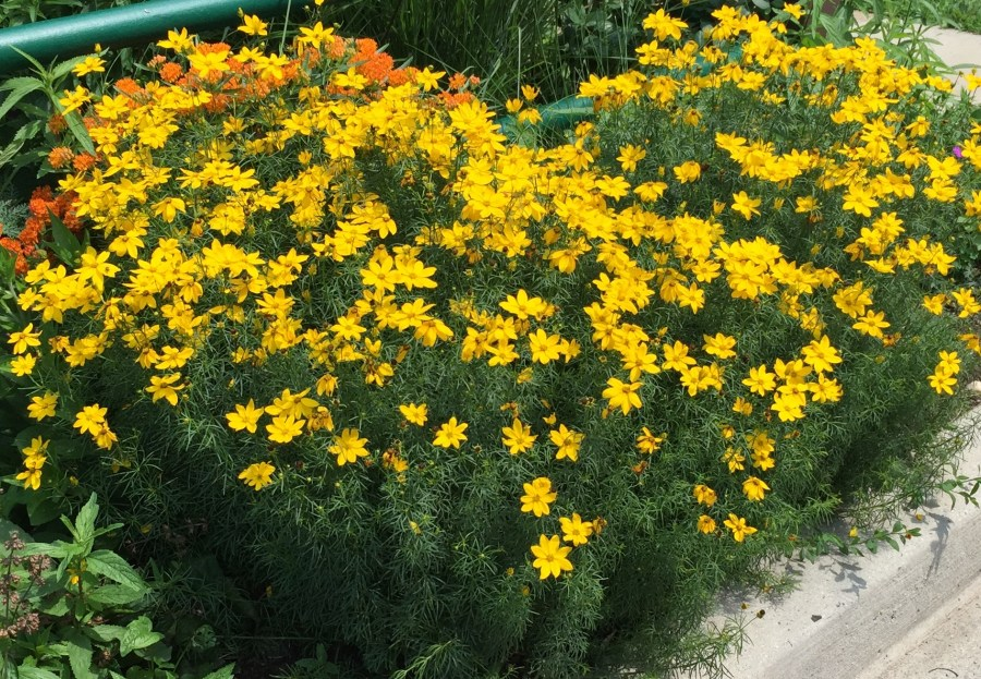 Coreopsis verticillata, Threadleaf Coreopsis, blooming in July.