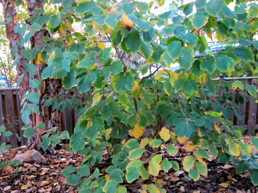 Hamamelis Virginiana Witch Hazel Master Gardeners Of Northern