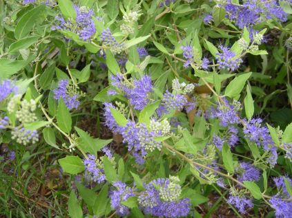 """""""Caryopteris x clandonensis"""" by Christa Watters"""