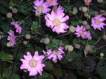 """""""Pink Fall Anemone"""" by Christa Watters"""