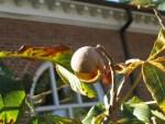 Red Buckeye Faux-Nut cracked wide open. Photo: Judy Funderburk