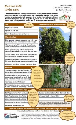 Quercus alba Annotated