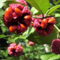 Extruding seeds enveloped in orange-red arils of native Euonymus americanus (strawberry-bush) in September. Photo © Elaine Mills