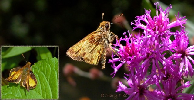 Zabulon skipper (Poanes zabulon) feeding on Vernonia noveboracensis and perched in a jet-fighter position (inset). © Mary Free