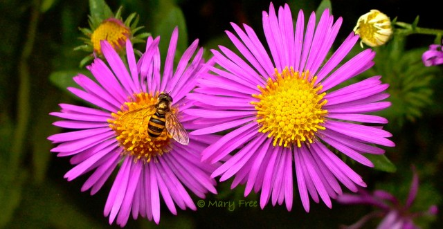 Syrphid fly, probably Eupeodes, on New England aster 'Purple Dome' (Symphyotrichum novae-angliae) © Mary Free