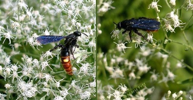 Blue-winged wasp (Scolia dubia) on hyssop-leaf thoroughwort (Eupatorium hyssopifolium) © Mary Free