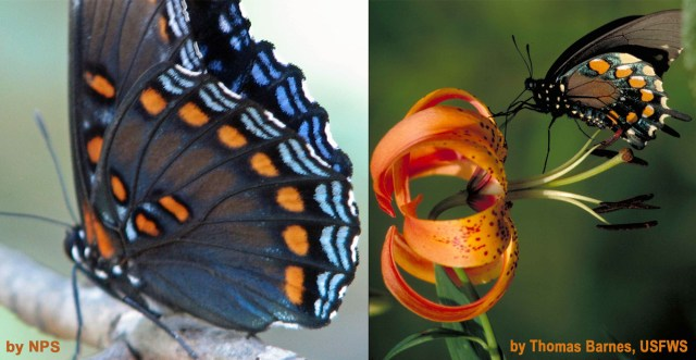 Red-spotted purple (Limenitis arthemis) compared to pipevine swallowtail (Battus philenor feeding on a lily). Images © Mary Free and courtesy of the National Park Service, Congaree National Park and of Thomas Barnes, U.S. Fish and Wildlife Service