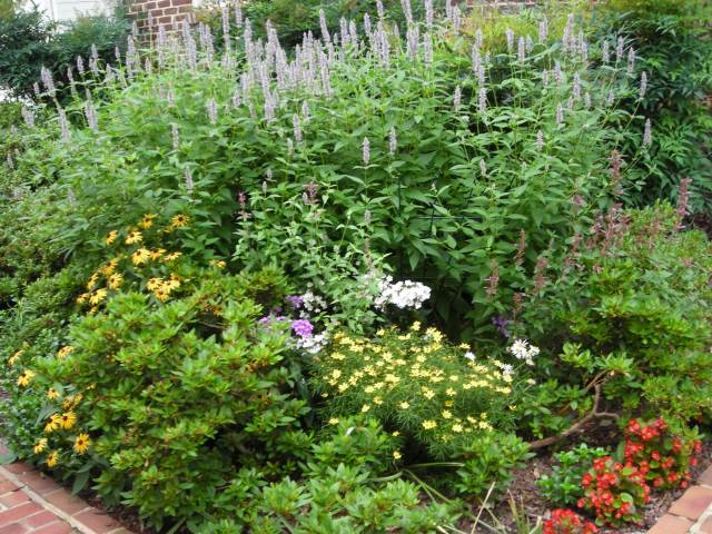 "The pollinator corner in July, with tall Agastache ""blue fortune"", shorter magenta Agastache ""flame"", Phlox paniculata, Rudbeckia, yellow threadleaf coreopsis, and pink Dianthus japonica, planted among 30-year-old azaleas. The perennials attract butterflies and bees all summer long. Photo: Christa Watters"