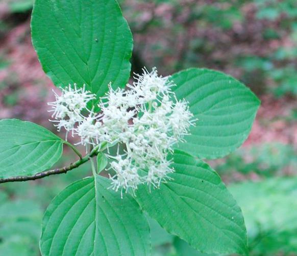 Cornus alternifolia, Pagoda Dogwood