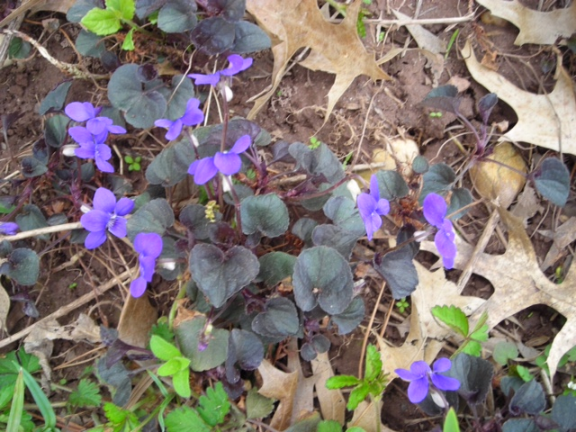 Alpine purple-leaved violet