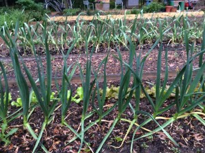 Garlic planted last October