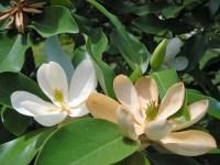 Magnolia virginiana (Sweet Bay Magnolia)